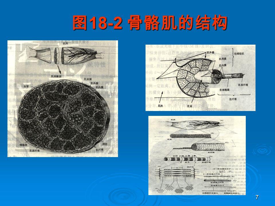 7 图 18-2 骨骼肌的结构 图 18-2 骨骼肌的结构