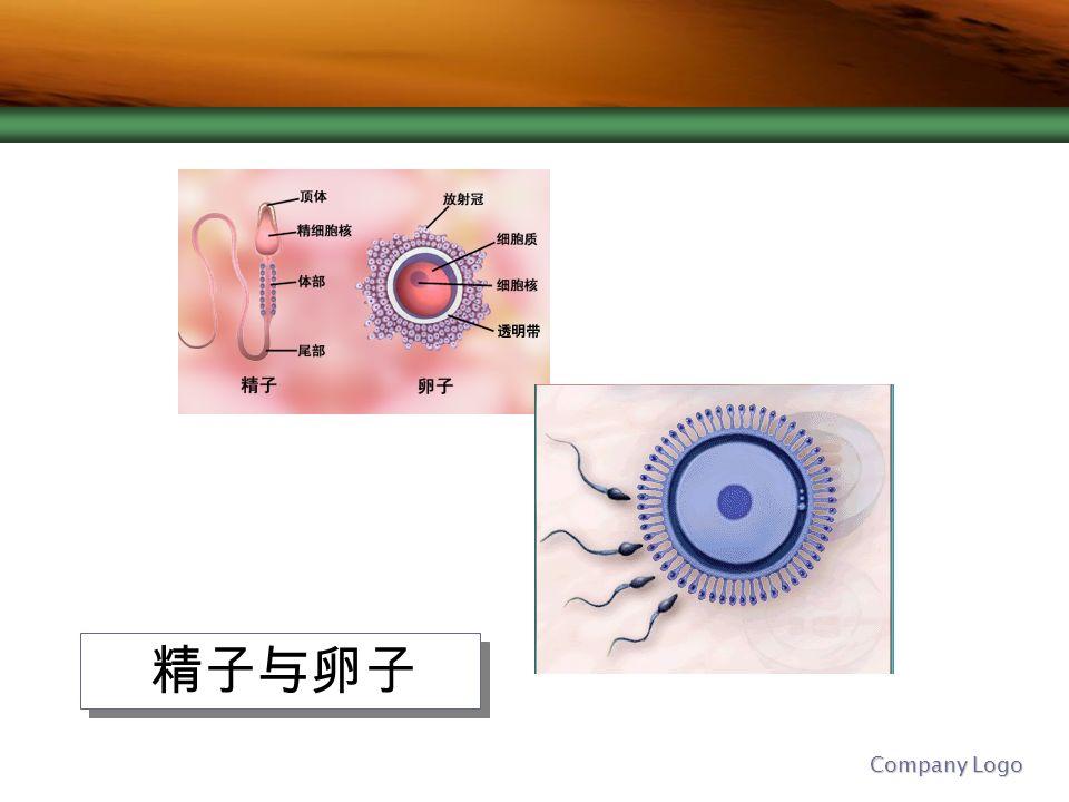 Company Logo 精子与卵子