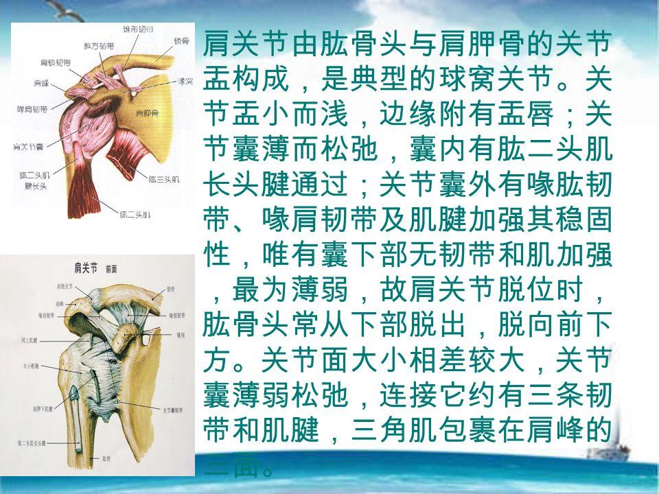 肩关节由肱骨头与肩胛骨的关节 盂构成,是典型的球窝关节。关 节盂小而浅,边缘附有盂唇;关 节囊薄而松弛,囊内有肱二头肌 长头腱通过;关节囊外有喙肱韧 带、喙肩韧带及肌腱加强其稳固 性,唯有囊下部无韧带和肌加强 ,最为薄弱,故肩关节脱位时, 肱骨头常从下部脱出,脱向前下 方。关节面大小相差较大,关节 囊薄弱松弛,连接它约有三条韧 带和肌腱,三角肌包裹在肩峰的 三面。
