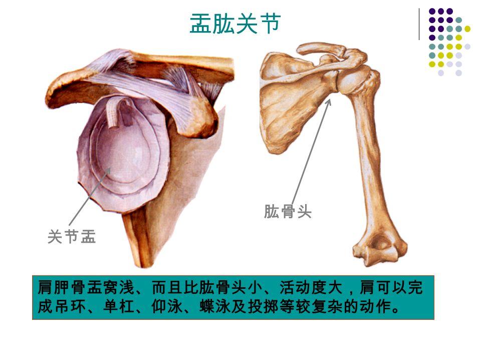 盂肱关节 关节盂 肱骨头 肩胛骨盂窝浅、而且比肱骨头小、活动度大,肩可以完 成吊环、单杠、仰泳、蝶泳及投掷等较复杂的动作。