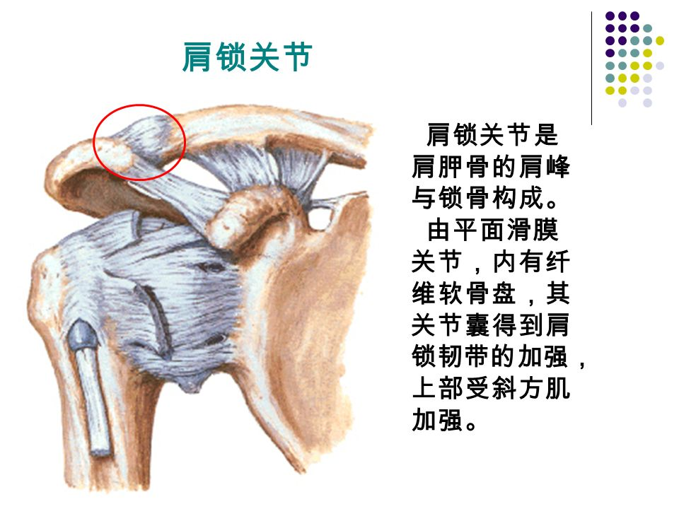 肩锁关节 肩锁关节是 肩胛骨的肩峰 与锁骨构成。 由平面滑膜 关节,内有纤 维软骨盘,其 关节囊得到肩 锁韧带的加强, 上部受斜方肌 加强。