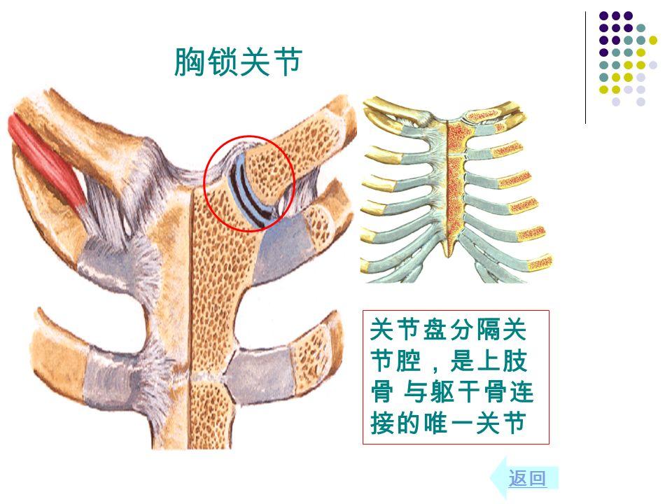 关节盘分隔关 节腔,是上肢 骨 与躯干骨连 接的唯一关节 返回 胸锁关节