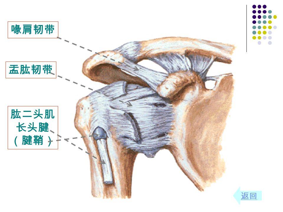 肱二头肌 长头腱 (腱鞘) 喙肩韧带 盂肱韧带 返回