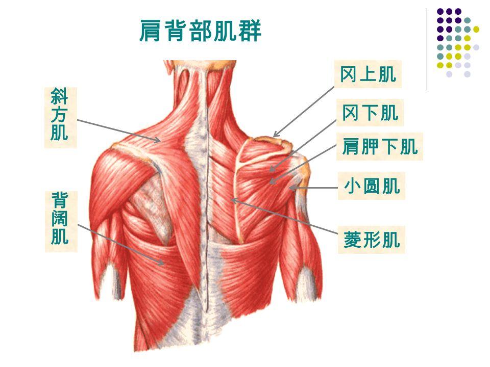 菱形肌 冈上肌 冈下肌 小圆肌 肩胛下肌 肩背部肌群