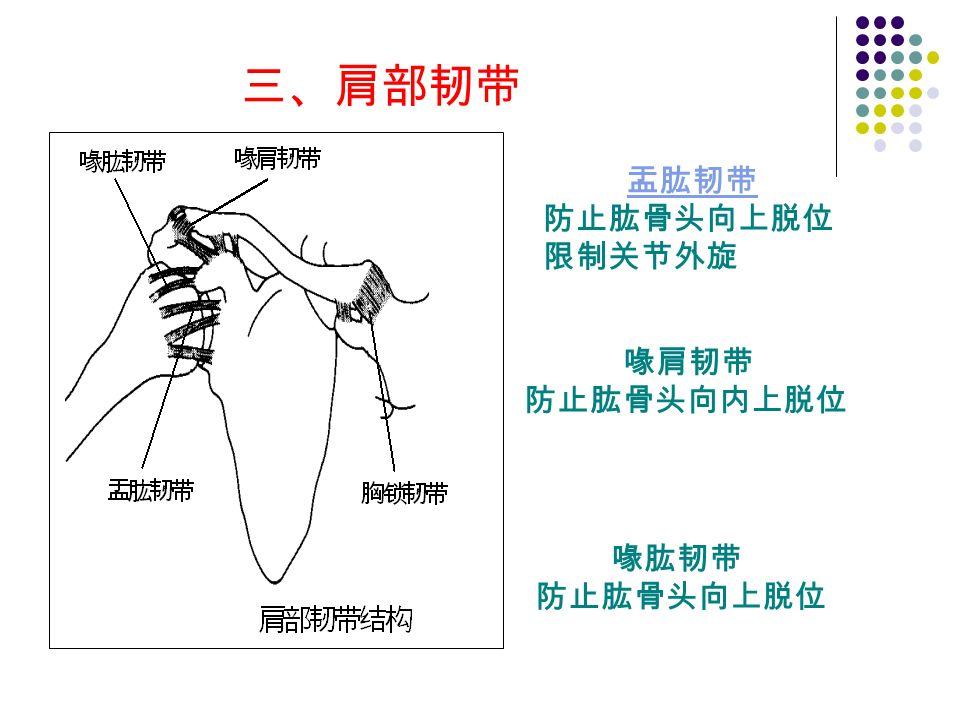 三、肩部韧带 喙肱韧带 防止肱骨头向上脱位 喙肩韧带 防止肱骨头向内上脱位 盂肱韧带 防止肱骨头向上脱位 限制关节外旋