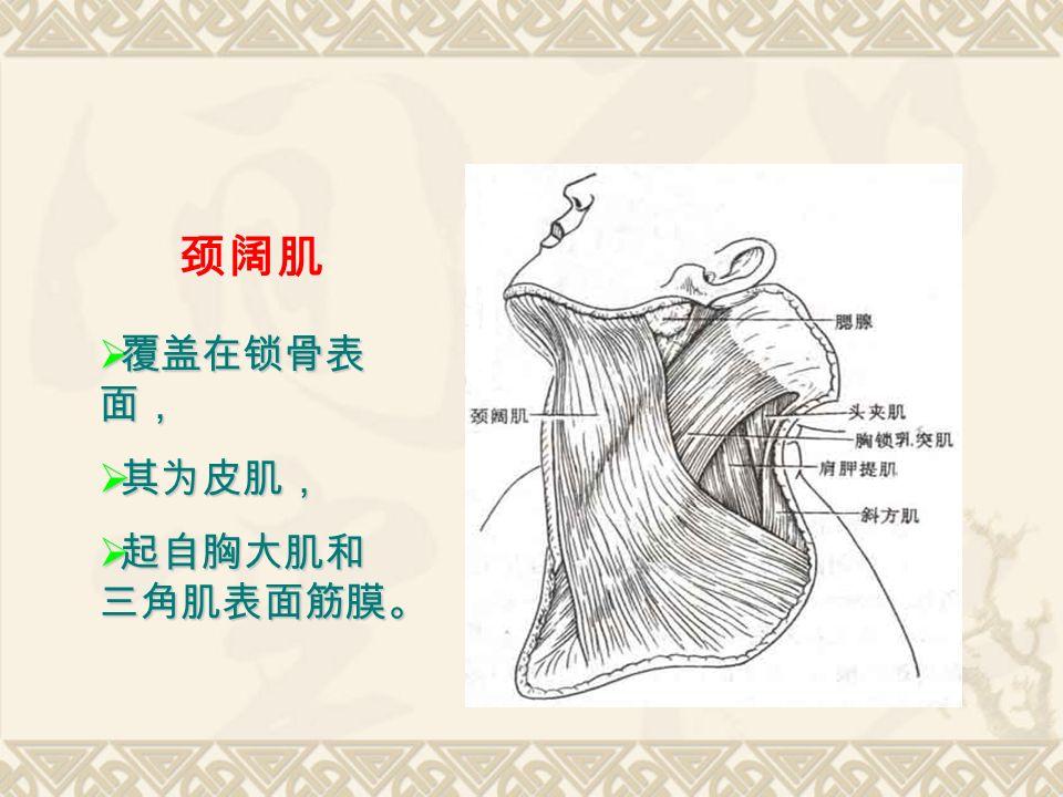 颈阔肌  覆盖在锁骨表 面,  其为皮肌,  起自胸大肌和 三角肌表面筋膜。