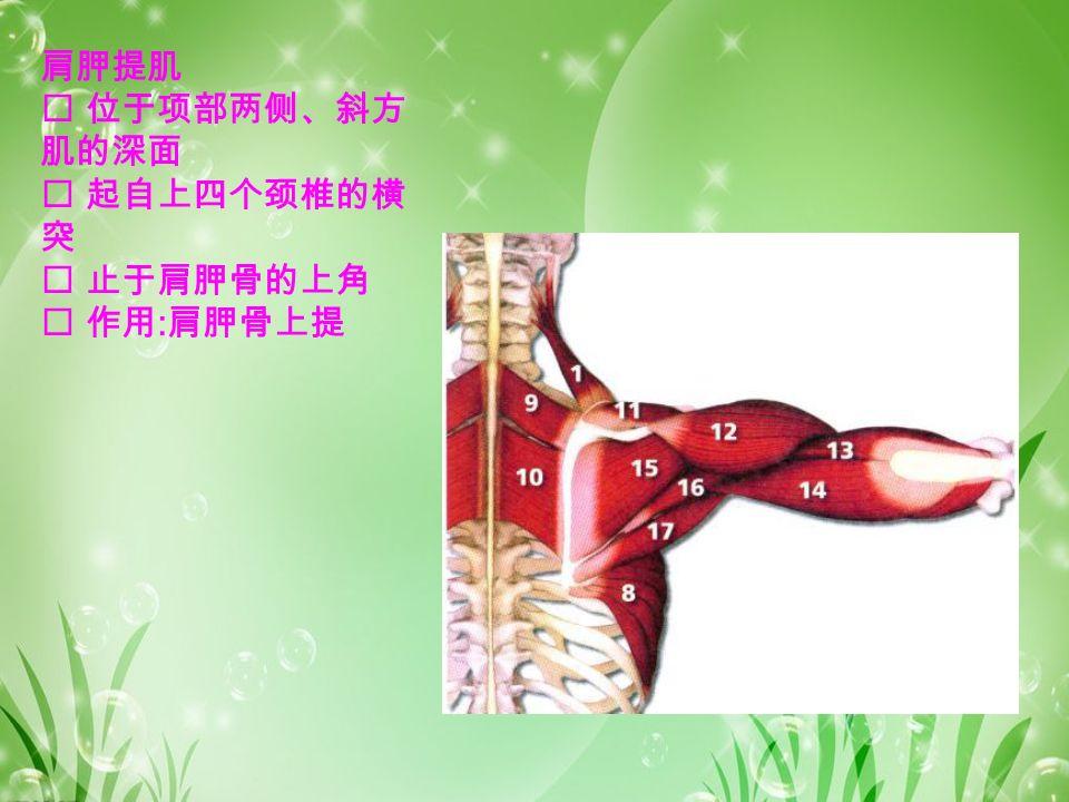 肩胛提肌  位于项部两侧、斜方 肌的深面  起自上四个颈椎的横 突  止于肩胛骨的上角  作用 : 肩胛骨上提