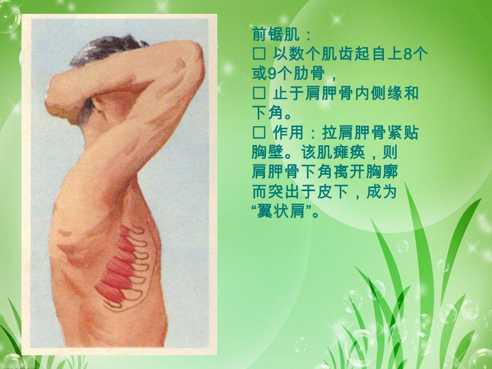 前锯肌:  以数个肌齿起自上 8 个 或 9 个肋骨,  止于肩胛骨内侧缘和 下角。  作用:拉肩胛骨紧贴 胸壁。该肌瘫痪,则 肩胛骨下角离开胸廓 而突出于皮下,成为 翼状肩 。