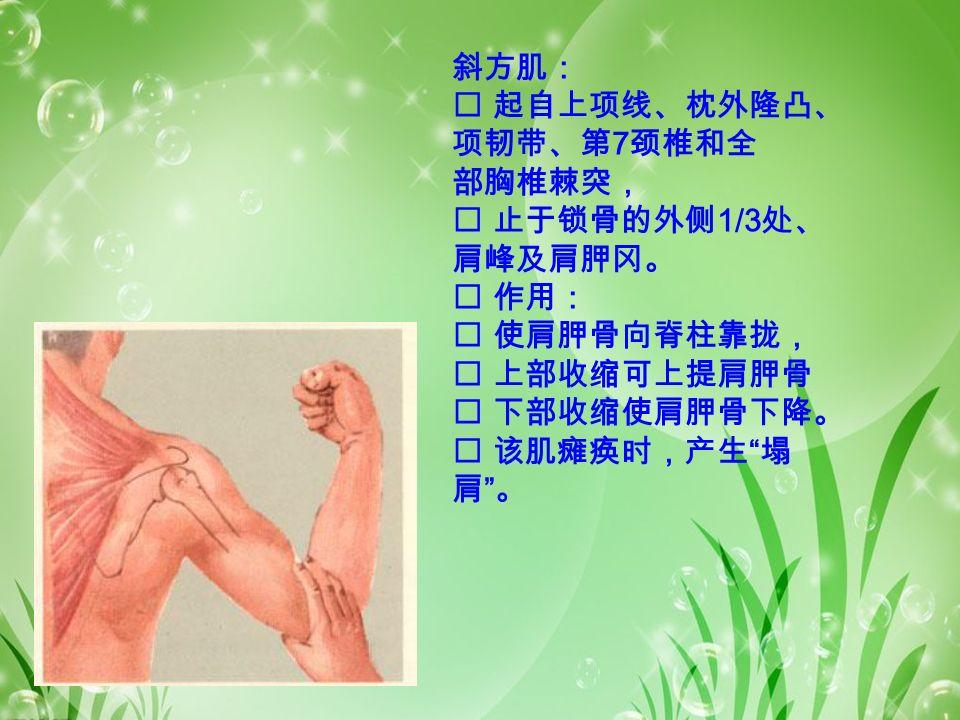 斜方肌:  起自上项线、枕外隆凸、 项韧带、第 7 颈椎和全 部胸椎棘突,  止于锁骨的外侧 1/3 处、 肩峰及肩胛冈。  作用:  使肩胛骨向脊柱靠拢,  上部收缩可上提肩胛骨  下部收缩使肩胛骨下降。  该肌瘫痪时,产生 塌 肩 。