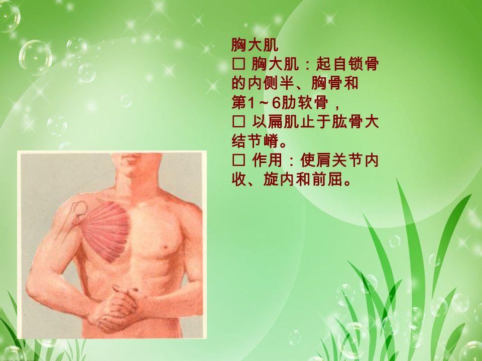 胸大肌  胸大肌:起自锁骨 的内侧半、胸骨和 第 1 ~ 6 肋软骨,  以扁肌止于肱骨大 结节嵴。  作用:使肩关节内 收、旋内和前屈。