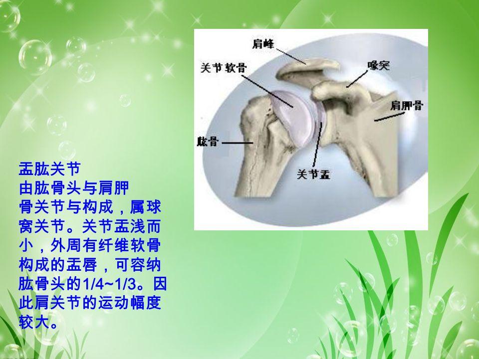 盂肱关节 由肱骨头与肩胛 骨关节与构成,属球 窝关节。关节盂浅而 小,外周有纤维软骨 构成的盂唇,可容纳 肱骨头的 1/4~1/3 。因 此肩关节的运动幅度 较大。