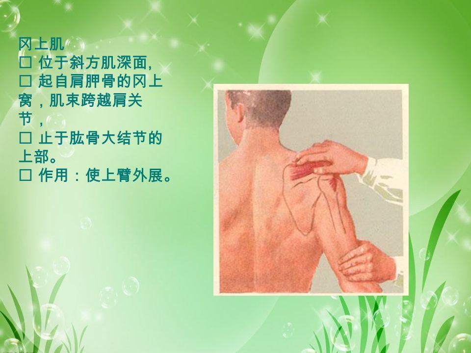 冈上肌  位于斜方肌深面,  起自肩胛骨的冈上 窝,肌束跨越肩关 节,  止于肱骨大结节的 上部。  作用:使上臂外展。