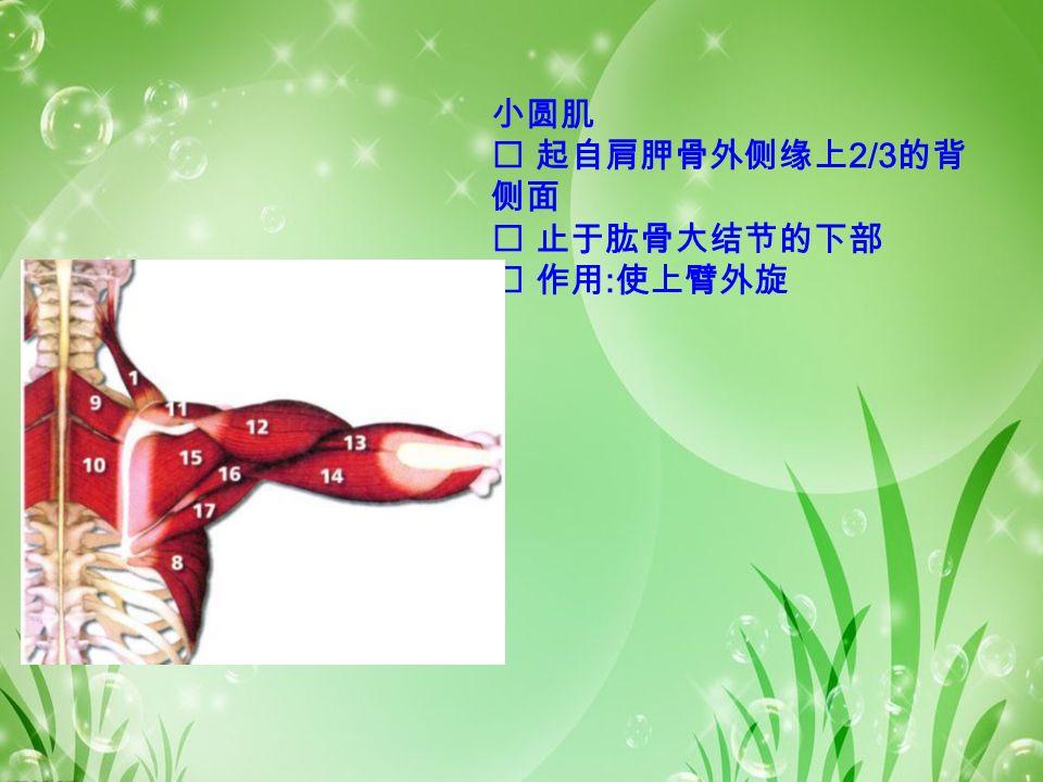 小圆肌  起自肩胛骨外侧缘上 2/3 的背 侧面  止于肱骨大结节的下部  作用 : 使上臂外旋
