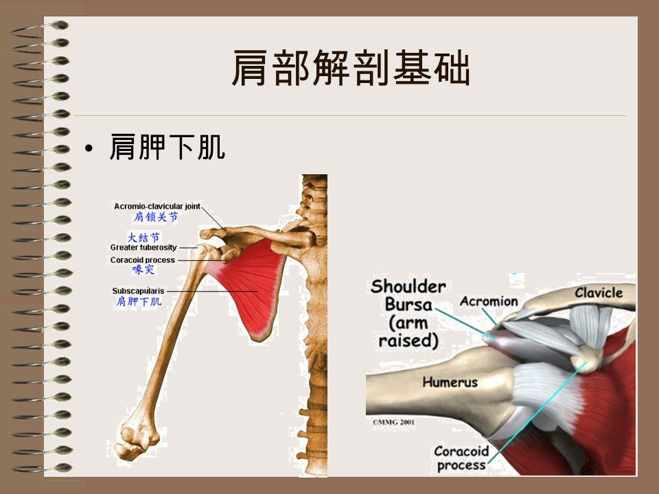 肩部解剖基础 肩胛下肌
