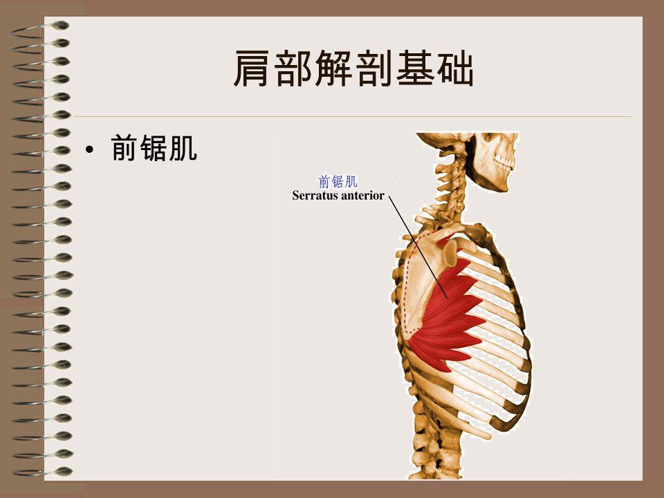 肩部解剖基础 前锯肌