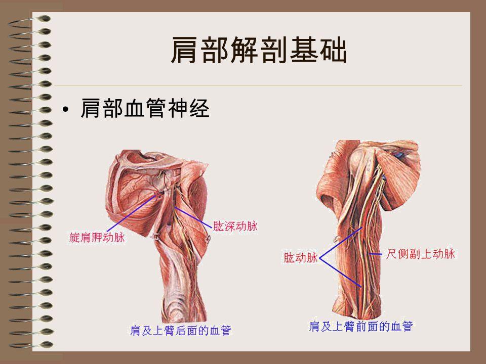 肩部解剖基础 肩部血管神经