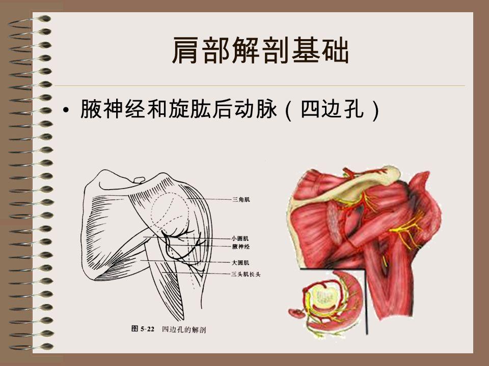 肩部解剖基础 腋神经和旋肱后动脉(四边孔)