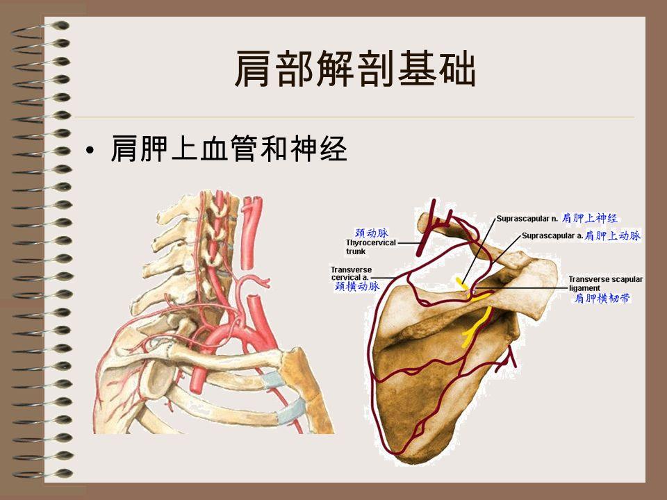 肩部解剖基础 肩胛上血管和神经