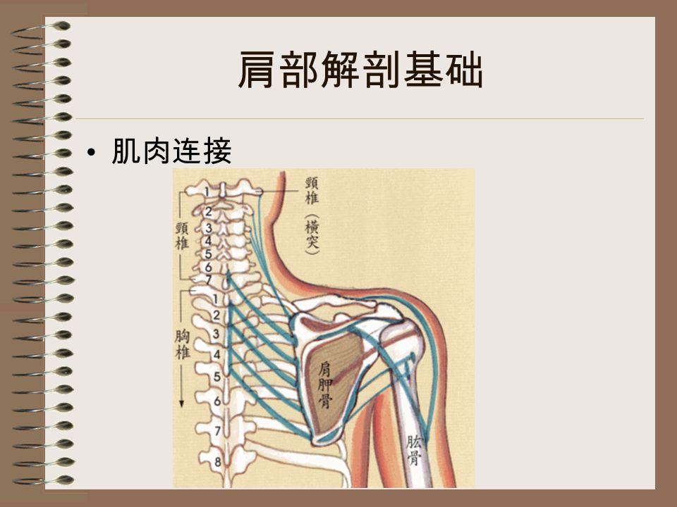 肩部解剖基础 肌肉连接
