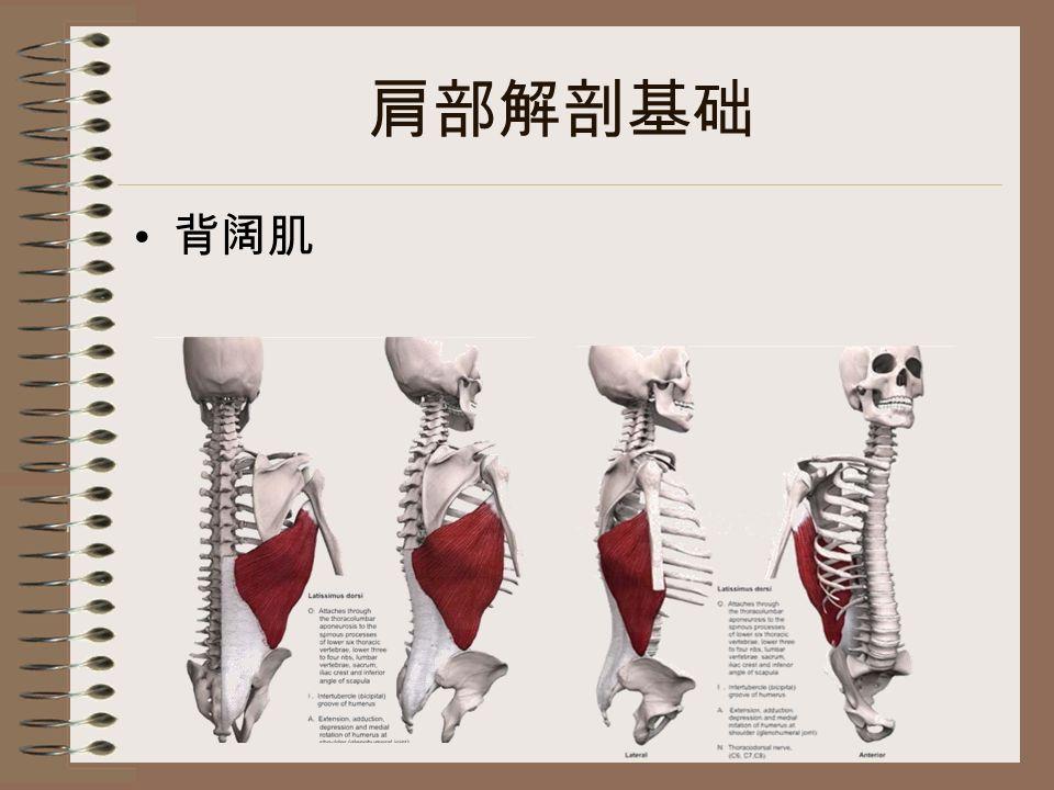 肩部解剖基础 背阔肌