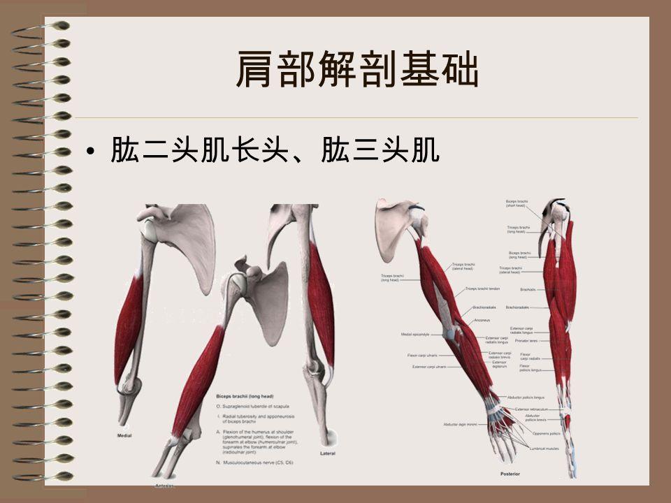 肩部解剖基础 肱二头肌长头、肱三头肌