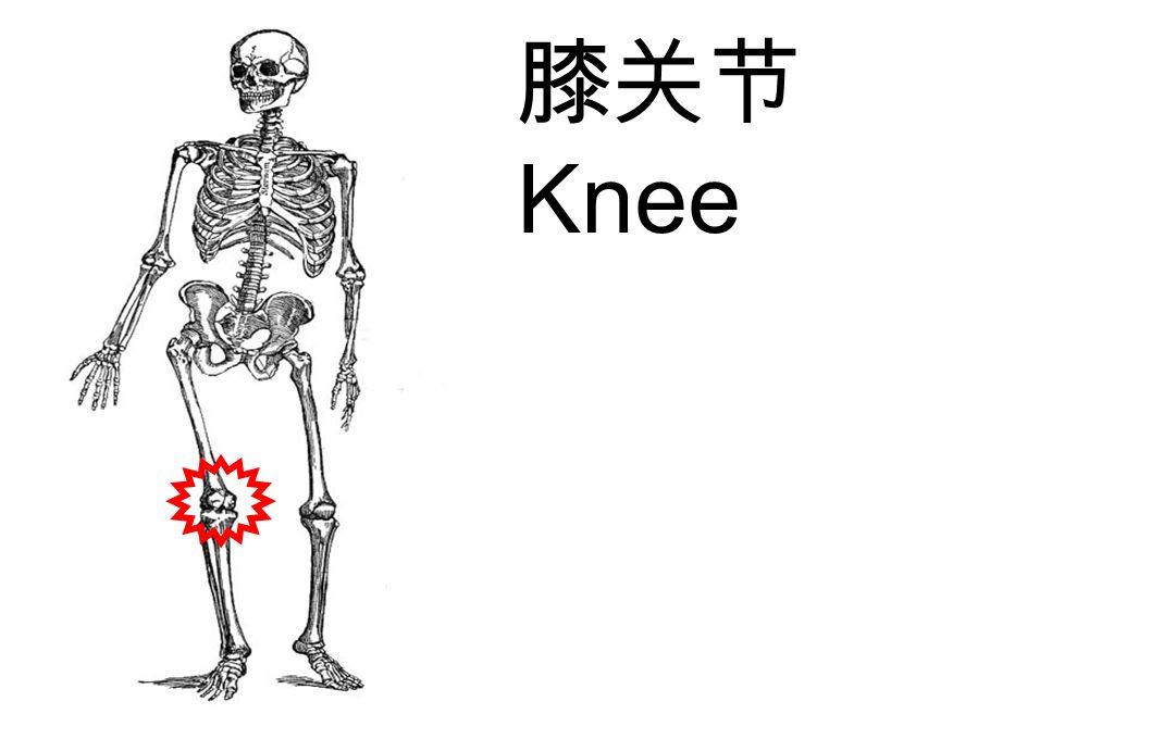 膝关节 Knee