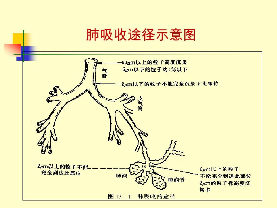 肺吸收途径示意图