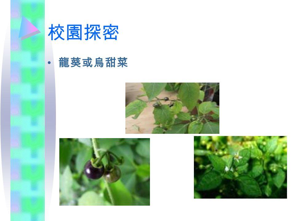校園探密 龍葵或烏甜菜