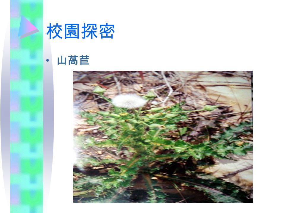 校園探密 山萵苣