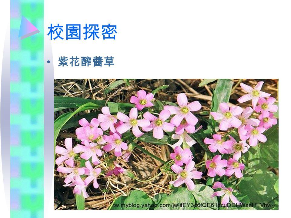 校園探密 紫花醡醬草