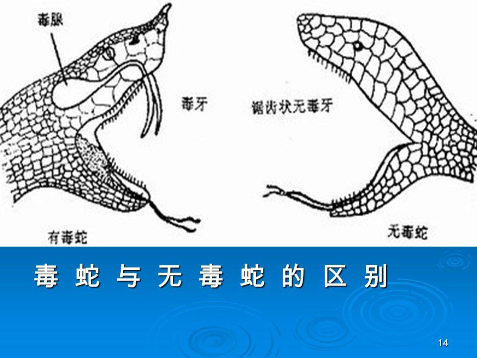 14 毒 蛇 与 无 毒 蛇 的 区 别 毒 蛇 与 无 毒 蛇 的 区 别