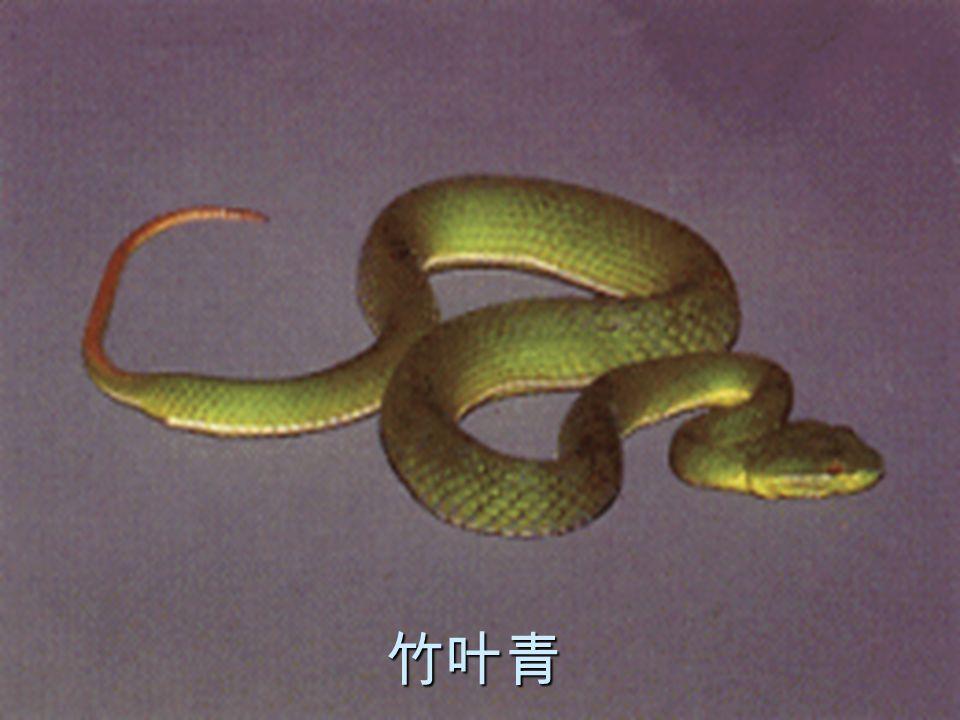 19 竹叶青