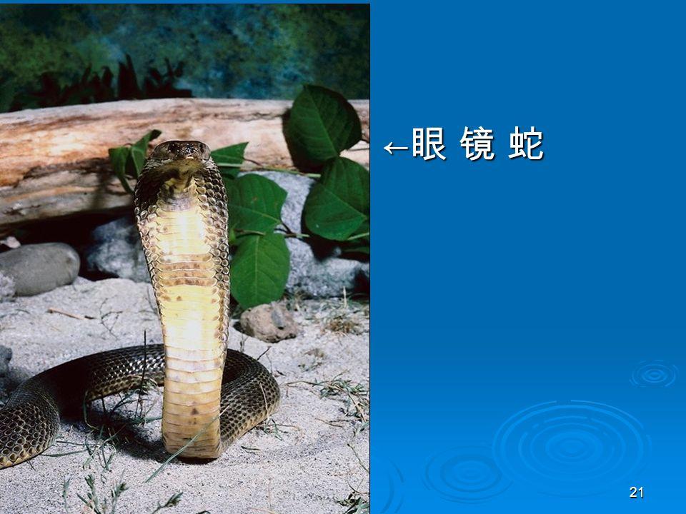 21 ←眼 镜 蛇←眼 镜 蛇←眼 镜 蛇←眼 镜 蛇
