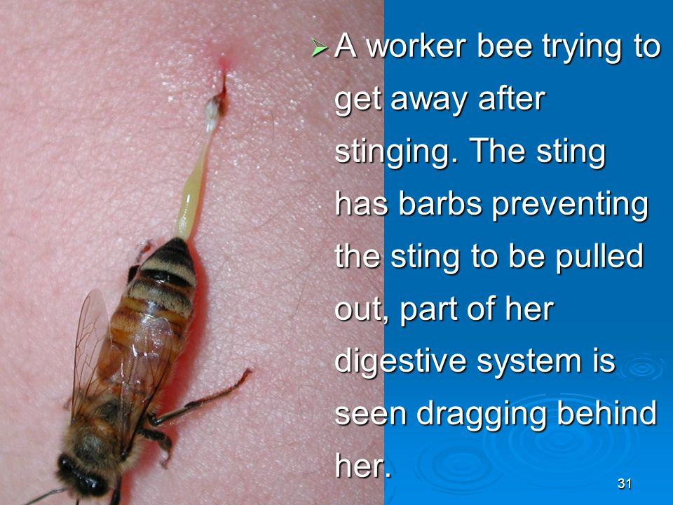 31  A worker bee trying to get away after stinging.