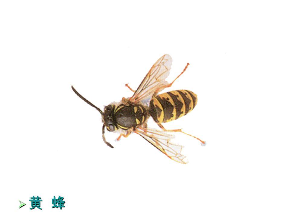 36  黄 蜂