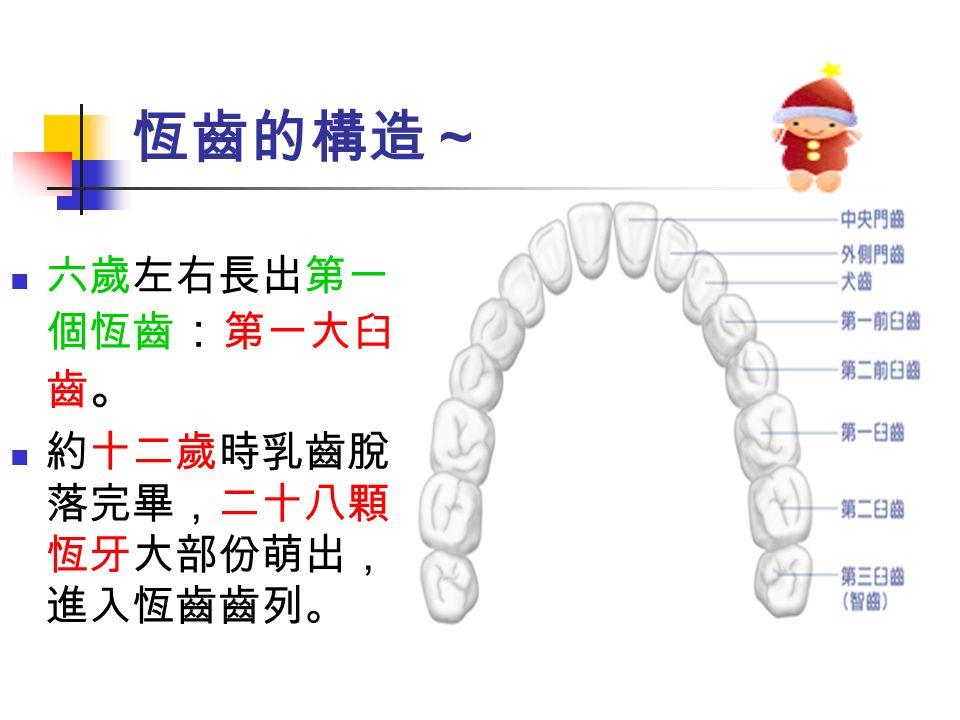恆齒的構造~ 六歲左右長出第一 個恆齒 : 第一大臼 齒 。 約十二歲時乳齒脫 落完畢,二十八顆 恆牙大部份萌出, 進入恆齒齒列。