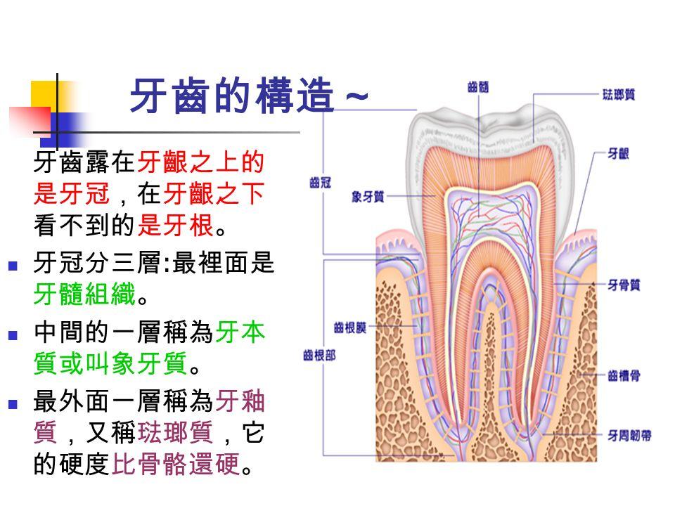 牙齒露在牙齦之上的 是牙冠,在牙齦之下 看不到的是牙根。 牙冠分三層 : 最裡面是 牙髓組織。 中間的一層稱為牙本 質或叫象牙質。 最外面一層稱為牙釉 質,又稱琺瑯質,它 的硬度比骨骼還硬。 牙齒的構造~