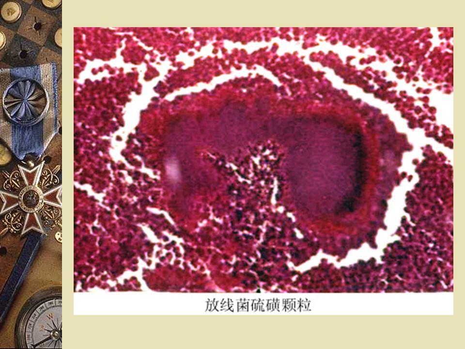硫磺样颗粒( sulfur granule ): 存在:病灶组织和脓性分泌物中 大小,颜色:肉眼可见,可至 1mm ,黄色 组成:由放线菌、巨噬细胞、其他组织细胞、 纤维蛋白组织 镜检:(压片或组织切片) 1.