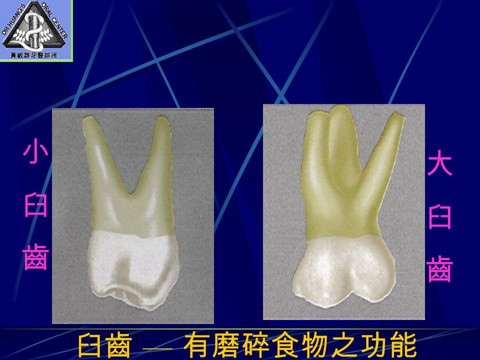 臼齒 — 有磨碎食物之功能 小臼齒小臼齒 大臼齒大臼齒