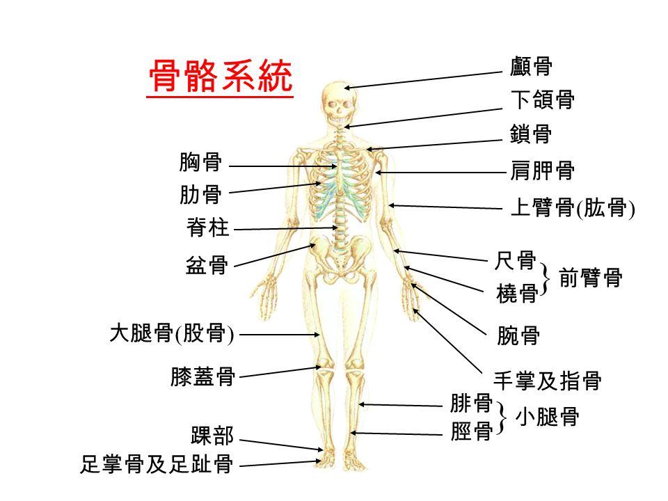 肋骨 脊柱 盆骨 大腿骨 ( 股骨 ) 膝蓋骨 足掌骨及足趾骨 踝部 顱骨 下頜骨 鎖骨 肩胛骨 上臂骨 ( 肱骨 ) 腕骨 尺骨 橈骨  前臂骨 胸骨 手掌及指骨 腓骨 脛骨  小腿骨 骨骼系統