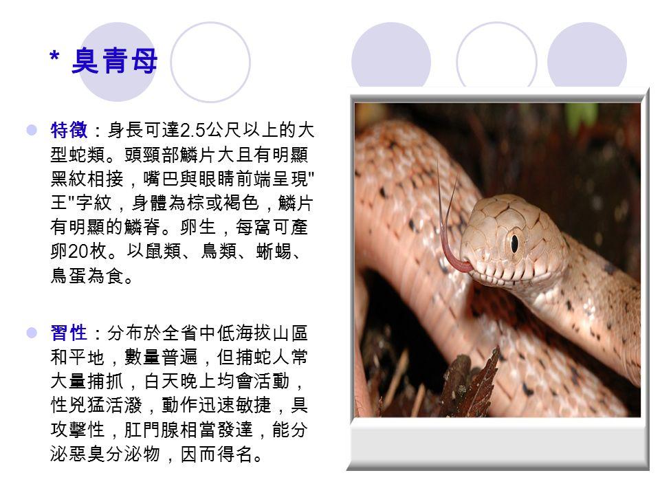 *臭青母 特徵:身長可達 2.5 公尺以上的大 型蛇類。頭頸部鱗片大且有明顯 黑紋相接,嘴巴與眼睛前端呈現 王 字紋,身體為棕或褐色,鱗片 有明顯的鱗脊。卵生,每窩可產 卵 20 枚。以鼠類、鳥類、蜥蜴、 鳥蛋為食。 習性:分布於全省中低海拔山區 和平地,數量普遍,但捕蛇人常 大量捕抓,白天晚上均會活動, 性兇猛活潑,動作迅速敏捷,具 攻擊性,肛門腺相當發達,能分 泌惡臭分泌物,因而得名。