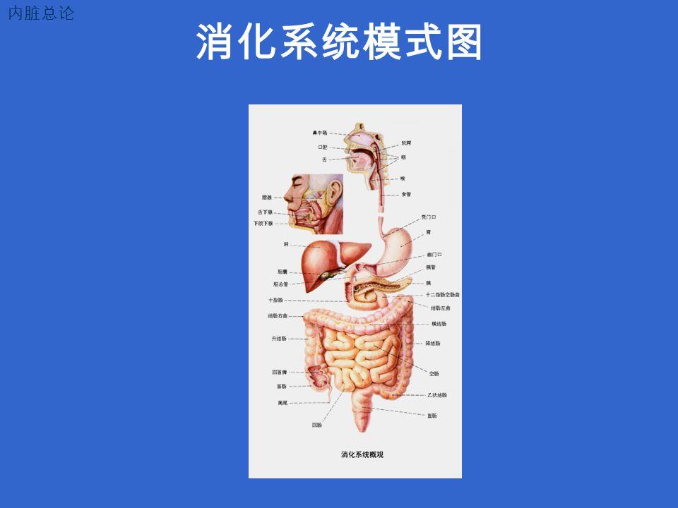 消化系统模式图 内脏总论