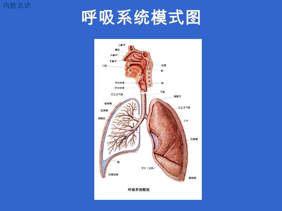 呼吸系统模式图 内脏总论