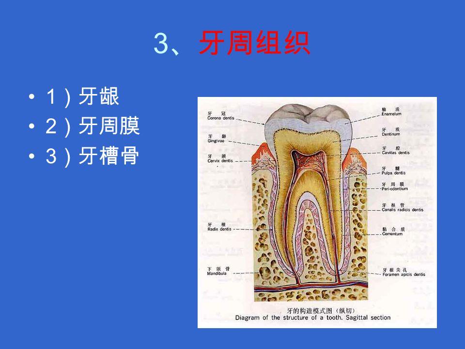 3 、牙周组织 1 )牙龈 2 )牙周膜 3 )牙槽骨
