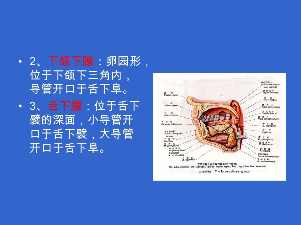 2 、下颌下腺:卵园形, 位于下颌下三角内, 导管开口于舌下阜。 3 、舌下腺:位于舌下 襞的深面,小导管开 口于舌下襞,大导管 开口于舌下阜。