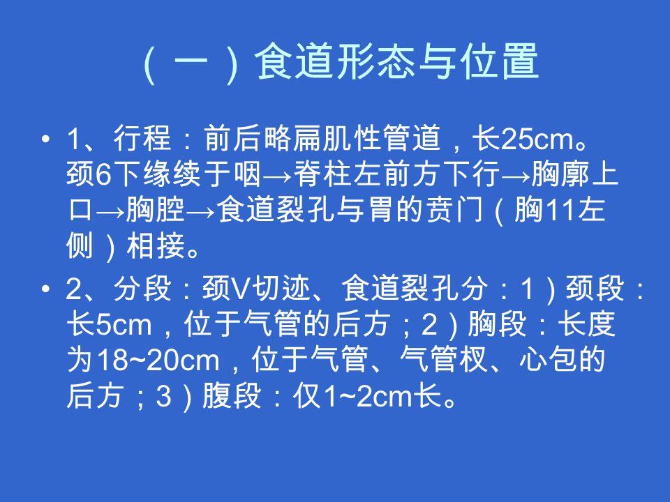 (一)食道形态与位置 1 、行程:前后略扁肌性管道,长 25cm 。 颈 6 下缘续于咽 → 脊柱左前方下行 → 胸廓上 口 → 胸腔 → 食道裂孔与胃的贲门(胸 11 左 侧)相接。 2 、分段:颈 V 切迹、食道裂孔分: 1 )颈段: 长 5cm ,位于气管的后方; 2 )胸段:长度 为 18~20cm ,位于气管、气管杈、心包的 后方; 3 )腹段:仅 1~2cm 长。