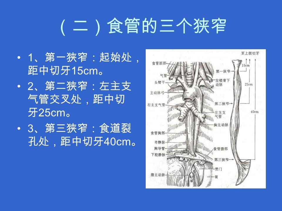 (二)食管的三个狭窄 1 、第一狭窄:起始处, 距中切牙 15cm 。 2 、第二狭窄:左主支 气管交叉处,距中切 牙 25cm 。 3 、第三狭窄:食道裂 孔处,距中切牙 40cm 。