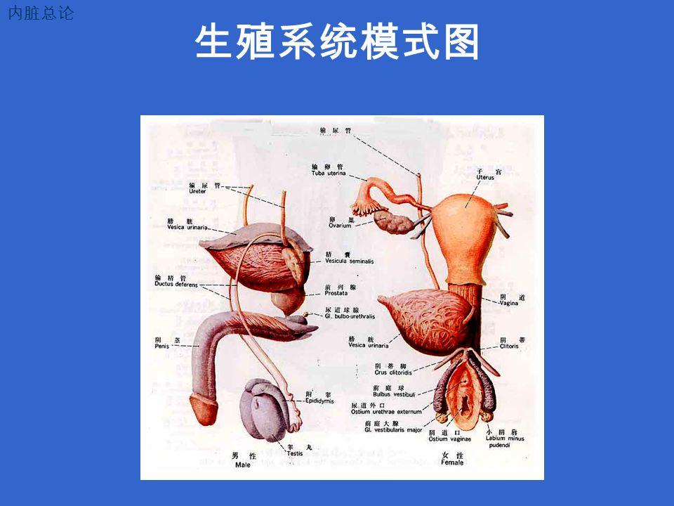生殖系统模式图 内脏总论