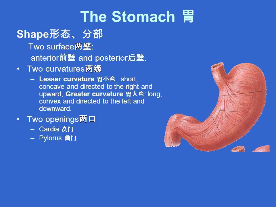 The Stomach 胃 Shape 形态、分部 两壁 Two surface 两壁 : anterior 前壁 and posterior 后壁.