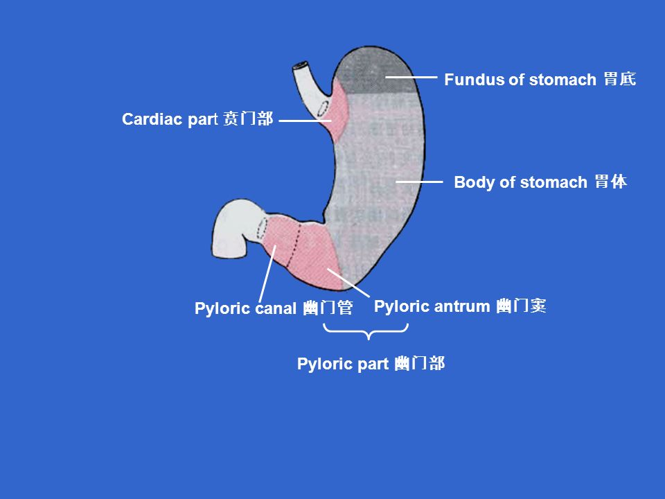 Cardiac part 贲门部 Fundus of stomach 胃底 Body of stomach 胃体 Pyloric antrum 幽门窦 Pyloric canal 幽门管 Pyloric part 幽门部